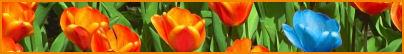 clubset tulp lijntj…